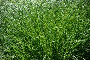 Close up of long, green grass